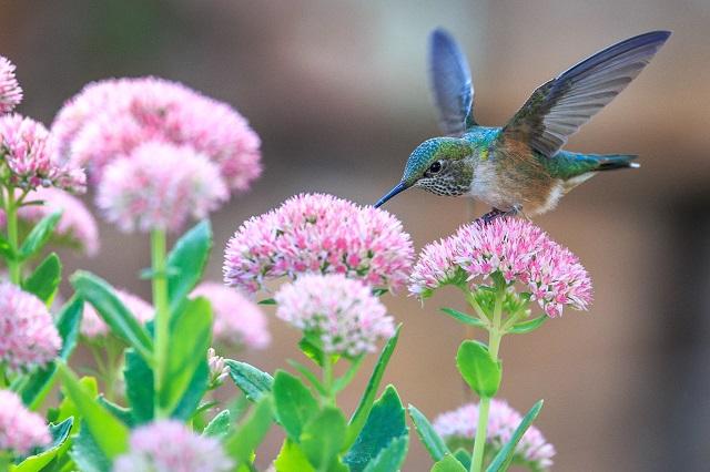humming-bird1