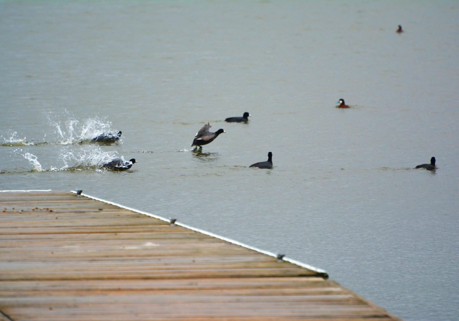Ducks Landing in Illinois River