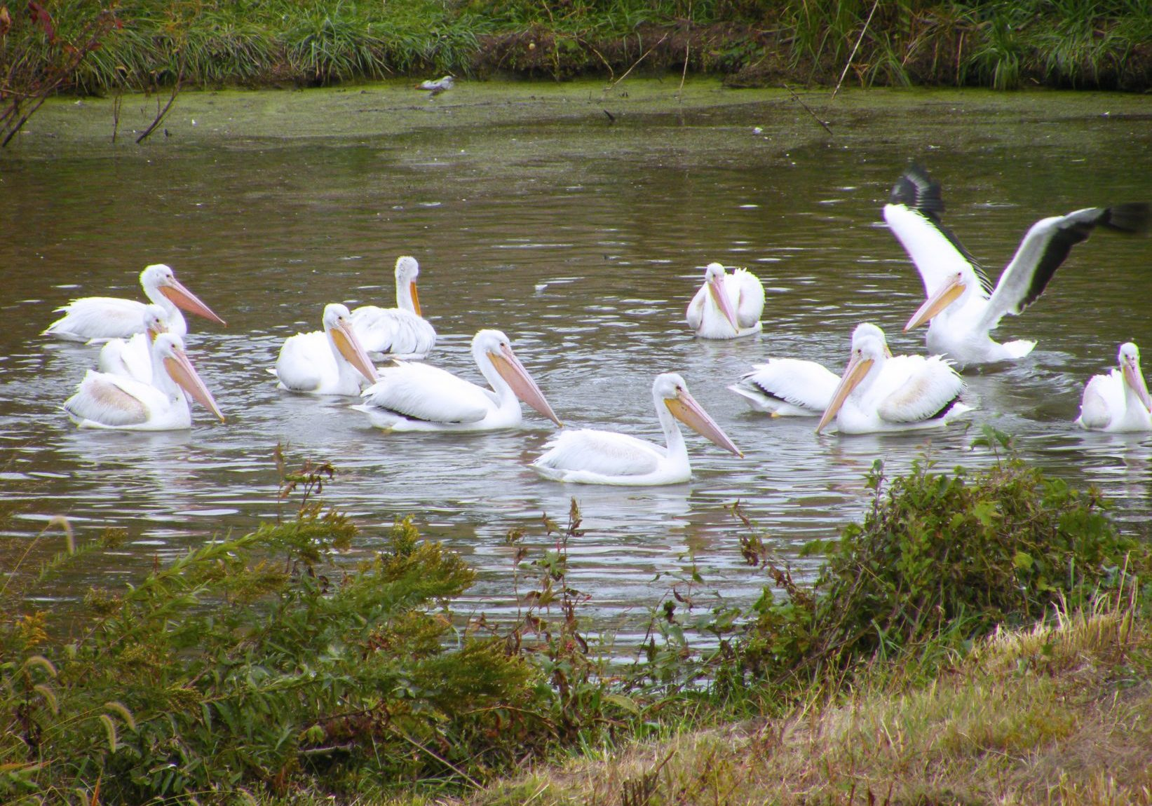Pelicans Fishing on the Illinois River